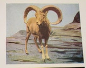 Vintage Urial and Axis Deer Illustration Book Plate From Natural History Book - Great for Framing