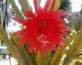 Dragon Fruit Plant, Succulent, Exotic flowers Dragon Fruit Cactus Succulent Epiphyllum Pitaya PitahayaThanh long