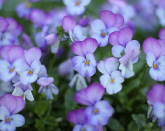 Violets Photo Print - Size 8x10, 5x7, or 4x6