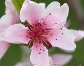 Flower photography-Peach tree blossom 8X8 fine art print- close-up of peach blossom in spring