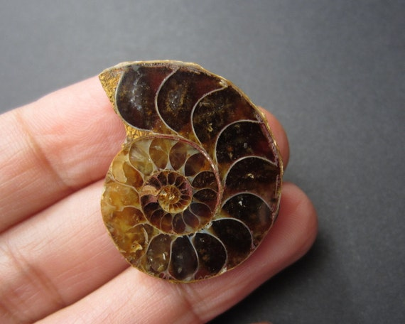 Ammonite Fossil  Shell Cabochon, Fossil for Jewelry, Natural Supplies B222