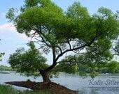 James River Tree, Richmond Virginia Landscape Water Photo Art, 8x10 Photo, Framed Photography Option