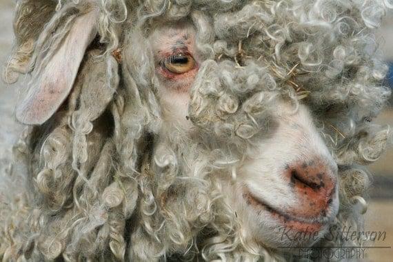 Sheep Spring Farm Animal Photo Art, 8x10 photo, Framed Photography Option