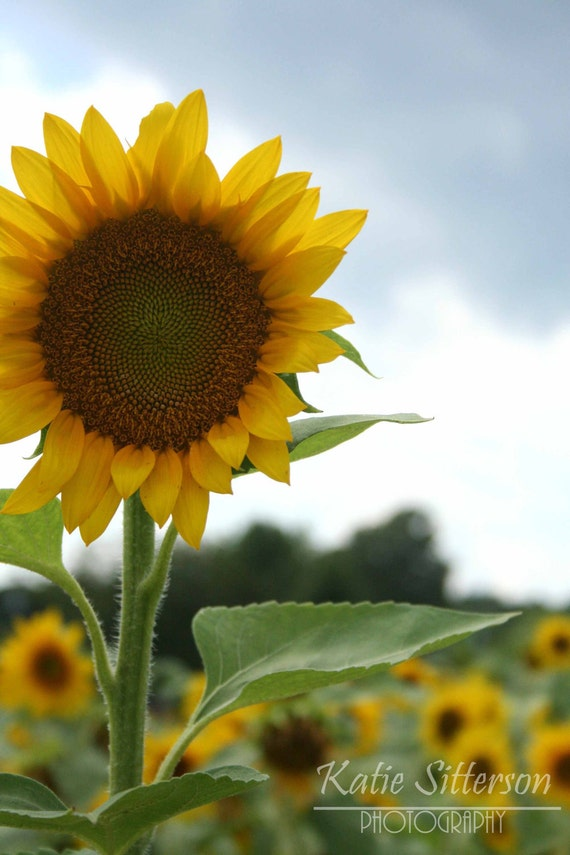 SALE Sunflower Photograph Close Up, Summer Photo Art, 8x10 Print, Home and Garden, Frame Available