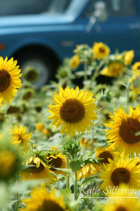 Sunflower Photograph with Pick-up Truck, Sunflower Field, Vintage Truck, Summer Photo Art, 8x10, Home and Garden, Frame Available