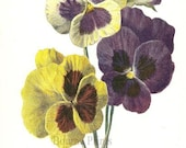 Summer Pansies in Yellow, Purple and White Print