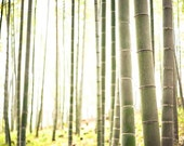 20x30 Bamboo Forest Fine Art Photo, Print, Landscape, Kyoto, Japan, Arashiyama, Grove, Forest, Green, Stalks