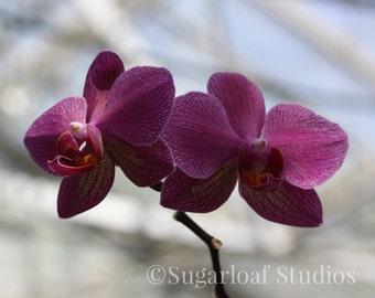 Purple Orchid 1 -- Fine Art Floral Photography -- Home Decor, Flowers, Art