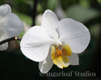 White Orchid 1 -- Fine Art Floral Photography Print -- Home Decor, Flowers, Art