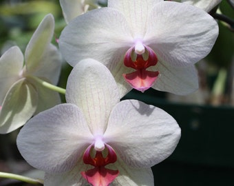 White and Red Orchid 1 -- Fine Art Floral Photography Print -- Home Decor, Flowers, Art