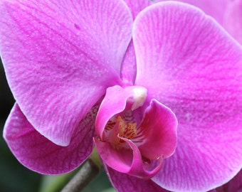 Pink Orchid 2 -- Fine Art Floral Photography Print -- Home Decor, Flowers, Art