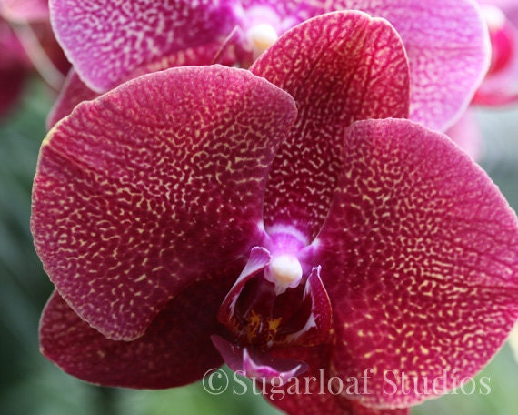 Red Yellow Orchid 1 -- Fine Art Floral Photography Print -- Home Decor, Flowers, Art