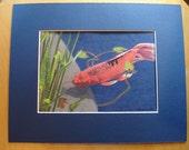 Koi Fish in pond watercolor mixed media painting, mounted original
