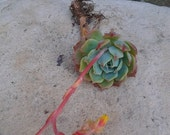 SURPRISE Single Succulent Cutting//eco//wedding//plant//Hostess gift//gift for HIM