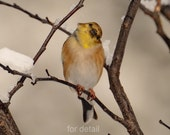 Yellow Goldfinch photograph, Bird photography, nature, yellow and brown, gifts for her, nursery wall art, 8 x 10 fine art print - NewLeafPics