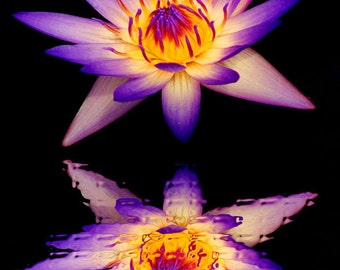 Water lily and reflection on black water-beautiful and exciting color photograph