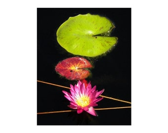 Pink Water Lily  8x10 Photograph
