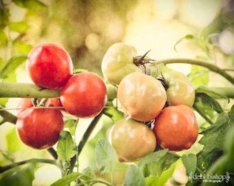 Garden Tomatoes on the Vine - Photograph 8x10 - Home Decor Fine Art Print