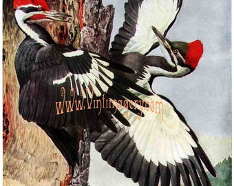 Pileated Woodpecker print, by L. A. Fuertes, 1910: Vintage Bird print digital download