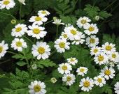 FEVERFEW, perennial, 100 SEEDS, ole timey granny plant, medicinal herb