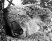 Koala Napping, 16x20 Photography, Portrait Vertical Photo, Sleeping, Fine Art, Nature Animal