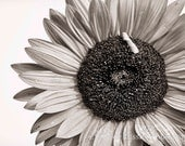 Sunflower 5, 5x7 Fine Art Photography, Flower Photography, Floral Photography - CindiRessler