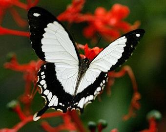 Mocker Swallowtail, Photography, Butterflies, Nature Lover, Photo, Fine Art, Gift Ideas, Garden, Bedroom Decor, Housewarming Gift,Home Decor