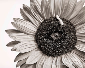 Sunflower 5, Fine Art Photography, Flower Photography, Floral Photography, Botanical Photography
