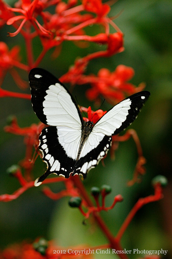 Mocker Swallowtail, Photography, Butterfly Photography, Nature Photography