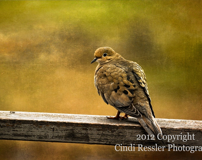 Mourning Dove 1, Photography, Bird Photography