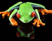 Frog Art, Red-Eyed Tree Frog, Cool Reflection