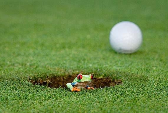 Golf Art, Real Frog Art, 8x10 Photo
