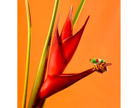 Tropical Plants, Live Frog on Heliconia Flower, 8x10 Wall Art