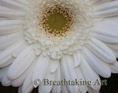 White Gerbera Daisy Fine Art Photography - 5x7