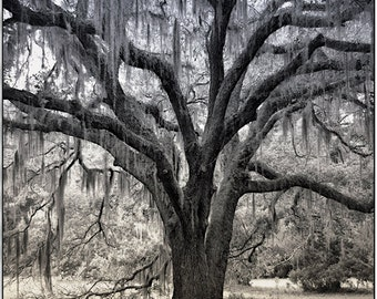 Tree Photograph, Spanish Moss, Southern, Tree Branches, Monochrome Metallic Print by Kerry.