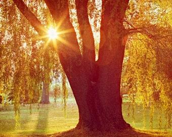 Willow Tree Photograph Spring Sun Fine Art Nature Photography