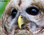 Wildlife Photography Barred Owl photo headshot 5x7 wildlife photo owl photo bird photo