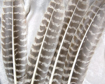 """4 - 15"""" Brown White Striped Eastern Wild Turkey Quill Feathers - Full Quill"""