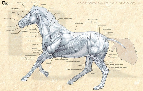 Greyhound Anatomy Diagram - Back and Front Views of the