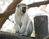 Vervet Monkey Relaxing - 8x10 Fine Art Photograph Print - Kenya, Africa Photo