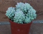 Succulent Plant - Sedum Donkey  Tail 'Burrito'