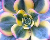 Succulent Plant - Aeonium 'Sunburst'