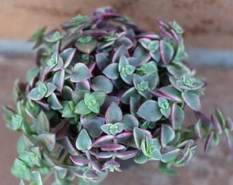 "Succulent Plant - ""Calico Kitty' crassula marginalis rubra"