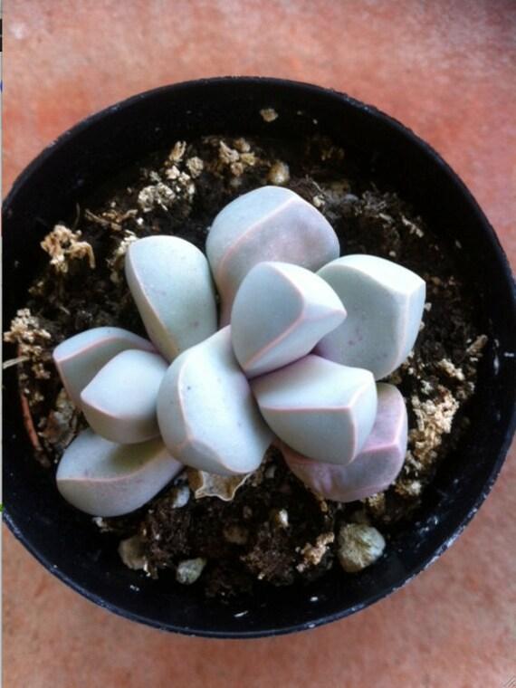 Succulent Plants - Green Split Rock- lapidaria margaretae