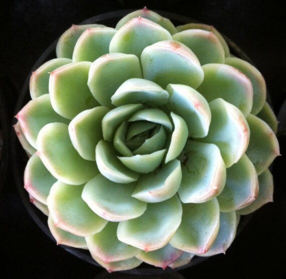 Succulent Plant Echeveria 'Mexican Snowball' by SucculentOasis