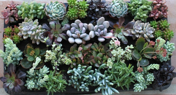 Succulent Plants - A Variety Of 55 Succulents