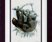 Sloth 01 Vintage Illustration Wall Decor Print 8 x 10 (vzm007)