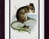 Mouse Vintage Illustration Wall Decor Print 8 x 10 (vzm020)