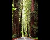 Redwood Trees and Road Photograph, California - Sun Through Tall Tree Print