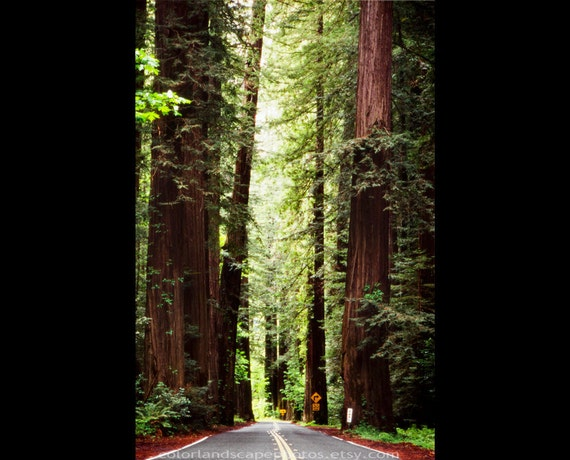 Landscaping With Redwood Trees : Landscape photograph redwood trees and road california